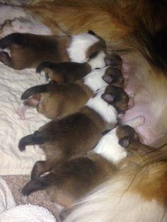 Sheltie Puppies!  Breakfast Time  BellaRose Sheltie