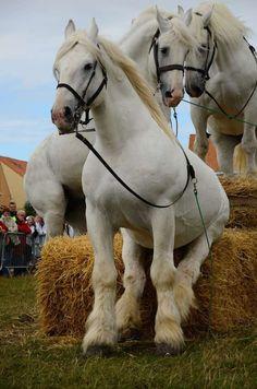 #horses  boulonnais draft horses