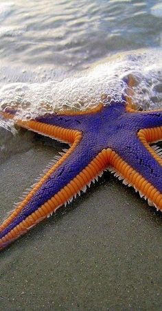 Funny pictures about Magnificent Starfish. Oh, and cool pics about Magnificent Starfish. Also, Magnificent Starfish photos. Under The Water, Under The Sea, The Ocean, Ocean Life, Beautiful Creatures, Animals Beautiful, Animals Amazing, Starfish Species, Wale