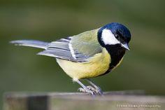 Great tit Parus major Paridae/Koolmees by peterjbailey, via Flickr
