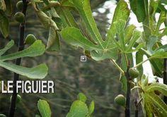 Le figuier porte un beau feuillage palmé, lobé et polymorphe et fournit des fruits une ou deux fois l'an.