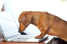 Pies, Śmieszne, Laptop, Jamnik