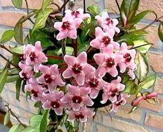 Hoya Carnosa Krimson Princess Great Succulent & by Houseplants4u