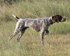 Everyone needs a good dog :) (German Short Haired Pointer)