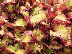 Coleus Perennials for Shade | Coleus 'Henna', Tall