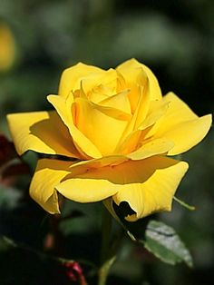 Sanjana v singh – Flowers Flowers Yellow Flowers, Pretty Flowers, Rose Flower Pictures, Rose Reference, Hearts And Roses, Love Rose, Tea Roses, Exotic Flowers, Flower Wallpaper