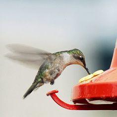 How to start a hummingbird garden