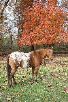 Appaloosa horse with nice saddle blanket markings.