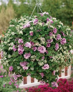 Supertunia® Priscilla Basket | Proven Winners-Enjoy this fragrant beauty in a variety of different containers.