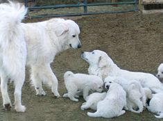 Caspian and Snow, Colorado Mountain Dogs, with a litter. We will get a new little puppy in August. Good livestock dogs and great with kids etc. Pyrenees Puppies, Great Pyrenees Dog, Maremma Sheepdog, Maremma Dog, Puppies And Kitties, Doggies, Top Dog Breeds, Mountain Dogs, Working Dogs