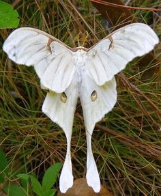 A-Z List of 125 Rare Albino Animals [Pics] Albinism is an genetic disorder characterized by a lack of melanin in the body, the body's color producing pigment. It is extremely rare. Here's a list of 125 rare albino animals. Amazing Animals, Animals Beautiful, Beautiful Bugs, Beautiful Butterflies, Beautiful Pictures, Art Papillon, Rare Albino Animals, Moth Caterpillar, White Butterfly