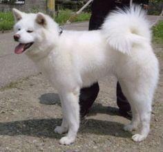 KOHAKU GO SUBARUSOU Kohaku, Inu, Akita, Husky, Dogs, Animals, Animales, Animaux, Pet Dogs