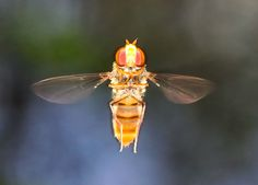 Hover Flies - Family Syrphidae