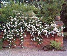 White flowers over warm red brick!