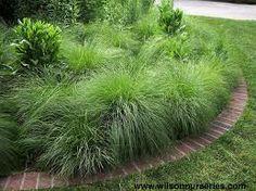 Gräs, Sporobolus, doftande.