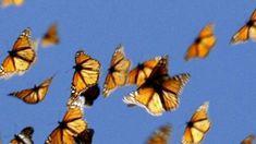 Em trabalho conjunto, biólogos e matemáticos descobriram os mecanismos por trás de famosa migração - do Canadá ao México - das borboletas monarcas.