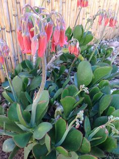 Cotyledon orbiculata, commonly know as 'pig's ear' is a native South African succulent plant. Bears orange-red coloured bell-shaped drooping flowers In South Africa, it is used medicinally; the fleshy part of the leaf is applied to warts and corns. Heated leaves are used as poultices for boils and other inflammations. Leaves contain a bufanolide which is toxic to sheep, goats, horses, cattle, poultry, and dogs.