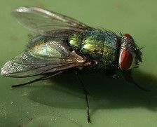 How to kill house flies- worth a shot!