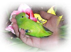 The parrotlet is the world's smallest parrot. It has the intelligence of any larger bird, but it is very small - about the size of a budgie (but way smarter). Parrotlets can be purchased through avian breeders, and their pricing typically runs between 175 and 200 dollars. They make very loving, intelligent pets for people who want a parrot but without the large beak and large, poopy cage.