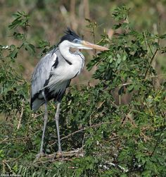 Cocoi Heron Ardea cocoi Transpantanal Highway, Mato Grosso state, Brazil. Formerly called White-necked Heron.