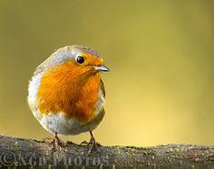 Pretty Robin, Rødkælk, Rødhals, bird, cute, nuttet, precious, beauty, photo