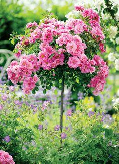 Kolczasta ślicznotka - uprawa róż - Kocham wieś