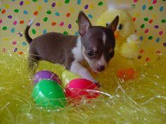 now that's cute Chihuahua Love, Chihuahua Puppies, Cute Puppies, Chihuahuas, I Love Dogs, Puppy Love, Baby Animals, Cute Animals, Mans Best Friend