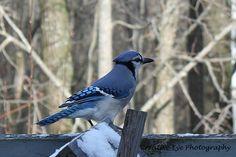 Blue jay. Blue Jay, Fine Art, Bird, Visual Arts, Birds, Birdwatching