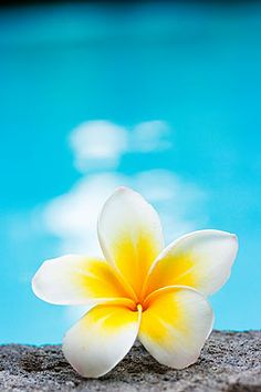 Frangipani flower by the pool Flowery Wallpaper, Sunflower Wallpaper, Summer Wallpaper, Cute Wallpaper Backgrounds, Nature Wallpaper, Exotic Flowers, Tropical Flowers, Amazing Flowers, Pretty Flowers