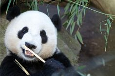 Yun Zi turned 4 on August 5th and is about 15 lbs. away from being as big as his mother, Bai Yun.