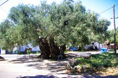 The 2000 years old oliva tree Olympus, Greece, Dolores Park, Street View, Island, Travel, Greece Country, Viajes, Islands