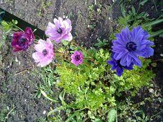 og der mangler franske anemoner