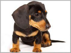 4 Dog Puppy Dachshund Doxie Weiner Dog puppies Sitting Greeting Stationery Notecards/ Envelopes Set