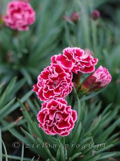 Carnation flower pattern by happy patty crochet pinterest dianthus scent first sugar plum dianthus x allwoodii scent first tm ccuart Gallery
