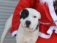 TO BE DESTROYED - 12/15/14 Brooklyn Center - P  My name is BILLS. My Animal ID # is A1022357. I am a male white and black pit bull mix. The shelter thinks I am about 1 YEAR   I came in the shelter as a STRAY on 12/04/2014 from NY 11236, owner surrender reason stated was STRAY.