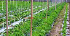 De ce şi cum se palisează roşiile | Paradis Verde Outdoor Structures, Exterior, Gardening, Design, Abseiling, Green, Plant, Lawn And Garden