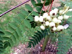 Sorbus leaves and lovely creamy white berries
