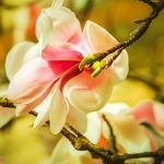 Ulei de Ricin și Gălbenuș de Ou Pentru Păr – Leacul lui Arsenie Boca   La Taifas Covered Garden, Flowering Trees, Small Gardens, Primitive, Bloom Blossom, Flowers, Magnolias, Plants, Mai