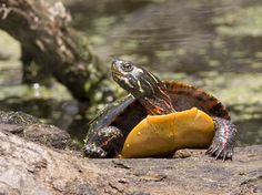 Are you thinking of buying a tortoise to keep? Tortoise pet care takes some planning if you want to be. Quebec, Types Of Turtles, Turtle Care, Pet Turtle, Russian Tortoise, Turtle Pond, Equador, Turtle Painting, Canada