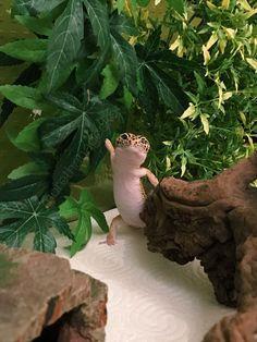 Leopard Gecko Cute, Cute Gecko, Cute Reptiles, Reptiles And Amphibians, Super Cute Animals, Cute Little Animals, Cute Creatures, Beautiful Creatures, Animals And Pets