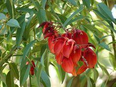 La flor del Ceibo, Seibo o Bucaré (Erythrina crista-galli). La flor nacional de Argentina y Uruguay.