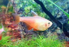 Fish List, Freshwater Fish, Fresh Water, Rio, Pets, Animals, Animales, Animaux, Animal
