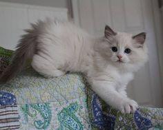 Ragdoll kitten from Rock Creek Ranch Ragdolls