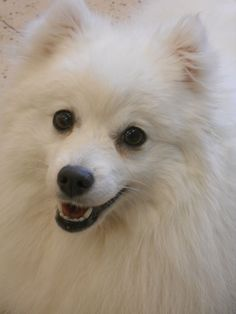 Japanese Spitz close-up.