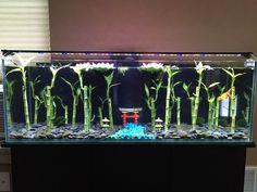 bubble eye goldfish aquarium with bamboo, tori gate, marimo moss balls, and lilypads