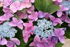 hydrangeas pictures - Google Search REALLY want to grow a Lace cap!
