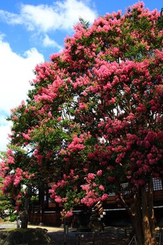 京都 本隆寺 サルスベリ Japan,Kyoto,Honryu-ji temple,crape myrtle flowers