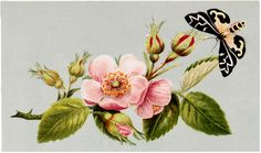 Free Vintage Wild Rose and Moth Image! - The Graphics Fairy