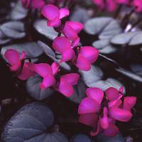 CYCLAMEN COUM...love this color