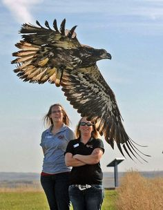 A young bald eagle takes flight from Fort Abraham Lincoln State Park after being released by staff from Dakota Zoo in Bismarck, North Dakota, USA.
